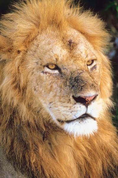 What Did My Dream Mean Are You The Lion King Or Ozs Cowardly