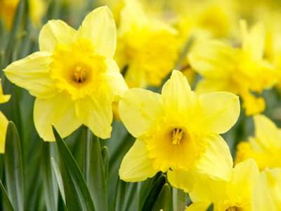 Inspirational flowers quotes a hundred flowers beliefnet celebrate the blooming beauty of spring 2010 with inspirational flower quotes and beautiful flower pictures yellow daffodils mightylinksfo