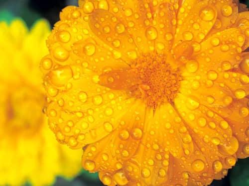 Raindrops on yellow flowers