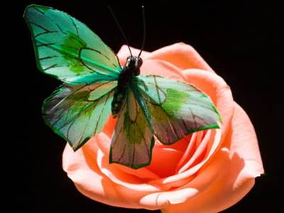 Green butterfly on pink rose