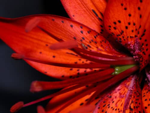 Red tiger lily