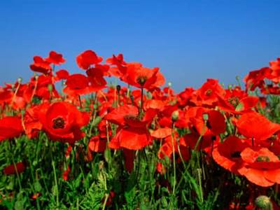 Inspirational flowers quotes friends are flowers beliefnet red poppies in a field mightylinksfo