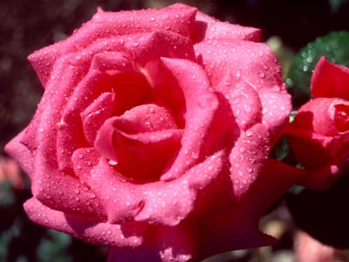 Raindrops on pink rose