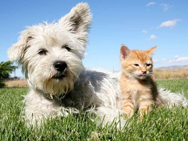White terrier and orange Tabby kitten