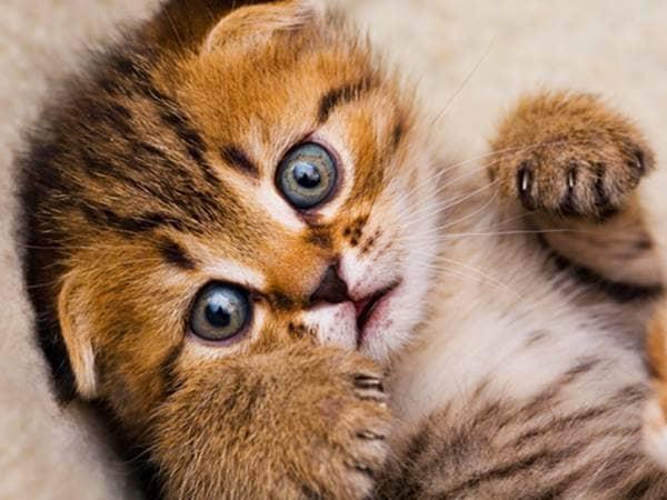 Orange tiger kitten with blue eyes