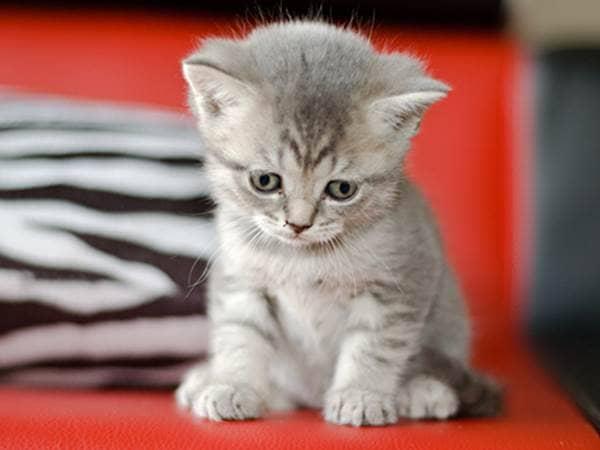 Gray kitten sitting on red sofa