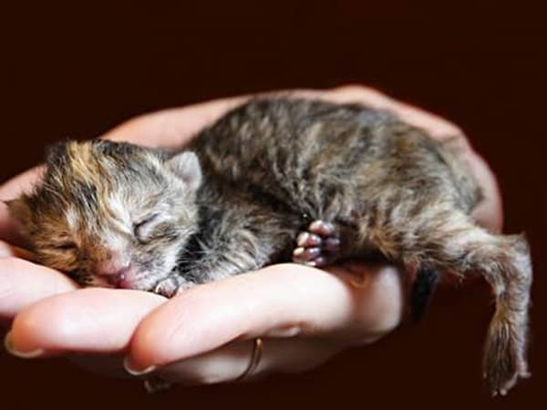 Dark gray newborn kitten