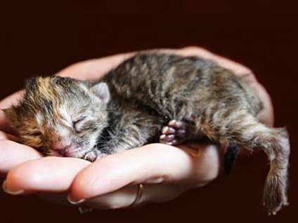 Dark gray newborn kitten