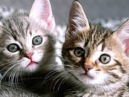 Two gray kittens with green eyes