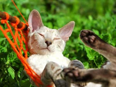Siamese cat sleeping on red hammock