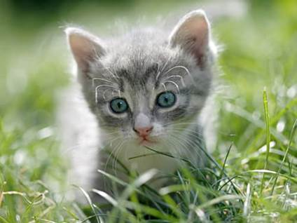 Gray kitten with blue eyes on grass