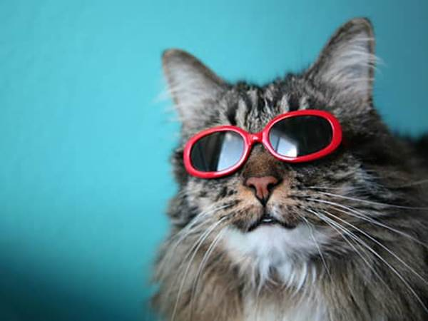 Gray cat wearing red sunglasses