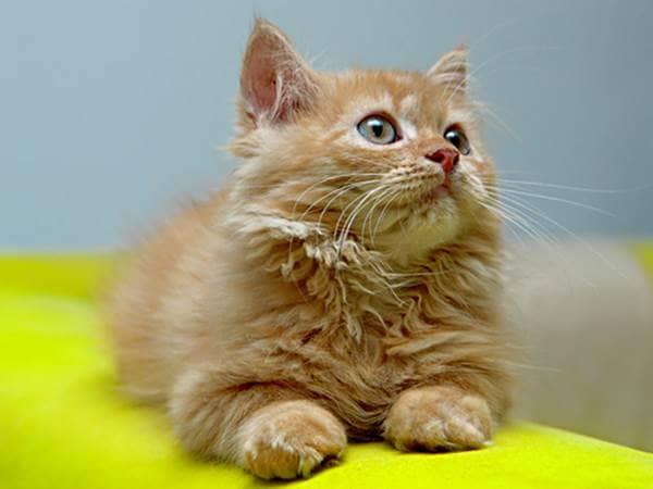 Tan kitten lying on a neon green sofa