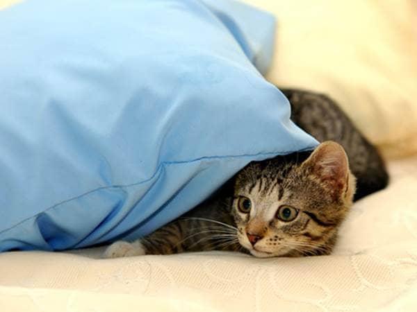 Gray kitten hiding under a pillow