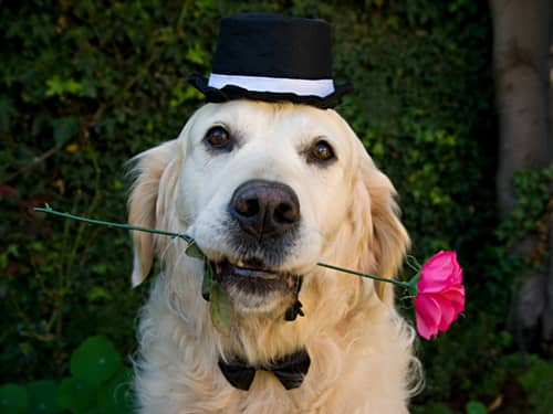 Golden Retriever wearing a top hat and bow tie, with a rose in its mouth