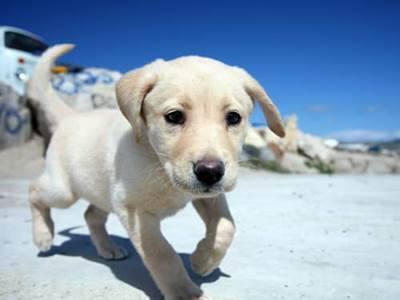 Yellow Labrador on beach