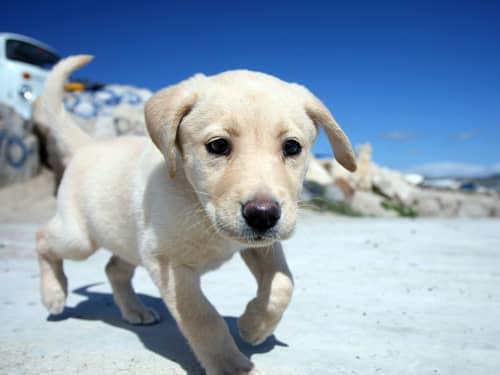 Yellow Labrador on beach