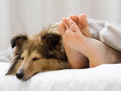 Shetland sheepdog sleeping on a bed