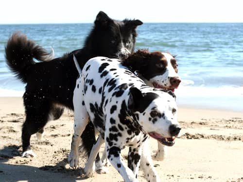 Dalmatian and two dogs on beach