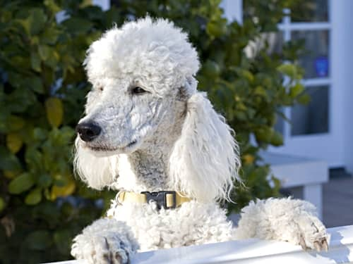 White Poodle waiting by a fence