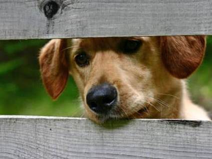 Puppy looking out a fence