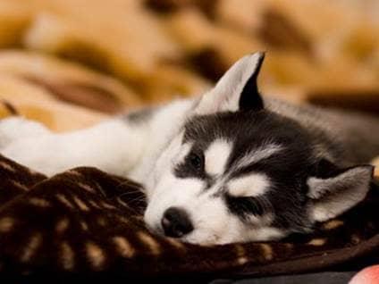 Husky sleeping