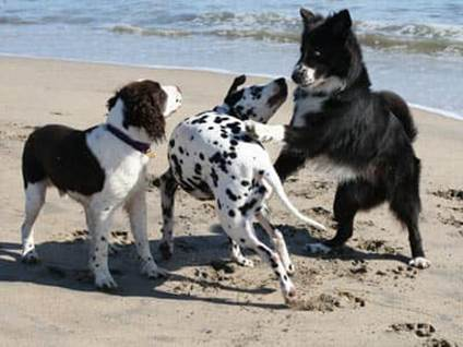 Three black-and-white dogs playing on a beach