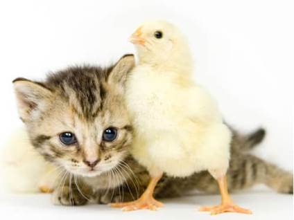 Pet Prayers: Kitten snuggling with baby chick