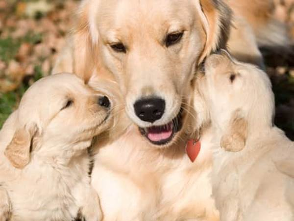 Pet Prayers: Mother golden labrador with her puppies