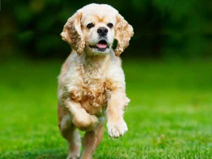 Running cocker spaniel