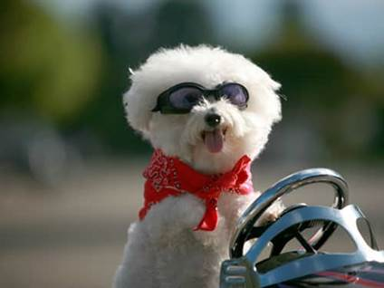 Bichon frise driving a miniature car