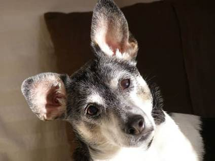 Rat terrier looking sideways