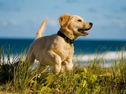 Yellow labrador puppy running on beach