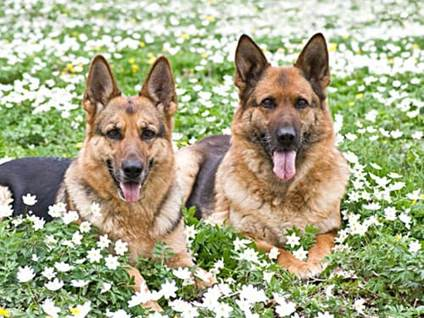 German shepeherds