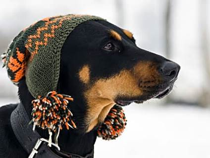 Doberman wearing a winter hat
