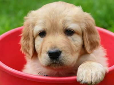 Pets-Yellow lab in a bucket