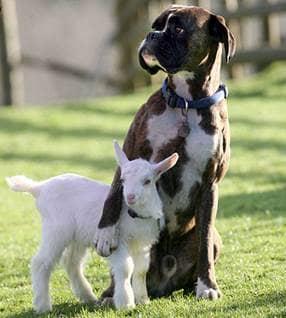 dog, goat