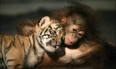 tiger, monkey