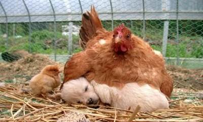 chicken, puppy