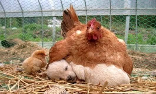 chicken, puppy