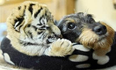 tiger, dog