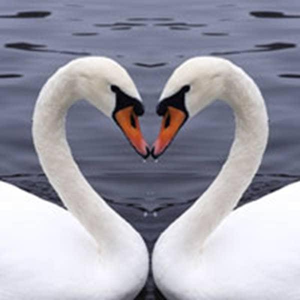 swan heart love heal