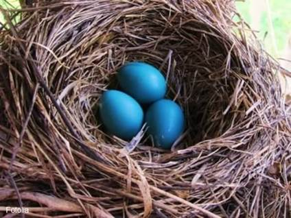 Robin's eggs in nest